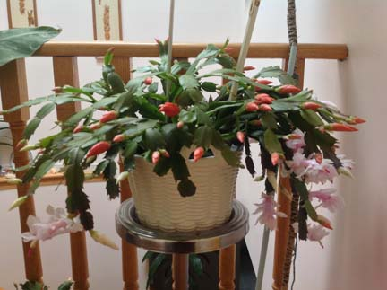 My Christmas Cactus (Zygocactus truncatus)蟹爪兰