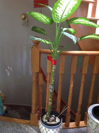 My dumb cane plant