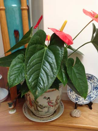 My Anthurium 火鹤花