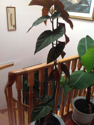 My Begonia