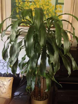 Dracaena Fragrans (Corn Plant) 巴西铁树(香龙血树)